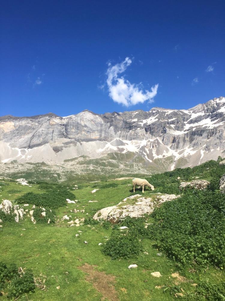 Mouton au sommet du cirque de Troumouse